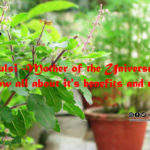 Tulsi -Mother of the Universe. Know all about it's benefits and uses